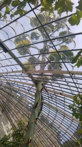 American Agave Plant in Ramsgate August 2015 seen from within theItalianate greenhouse