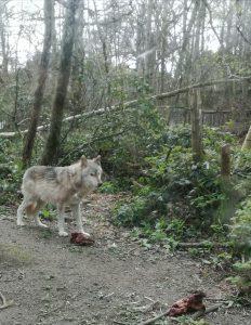 Wildwood wolf